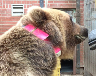 A bear with a bright pink collar on